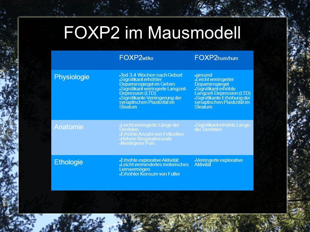 FOXP2 im Mausmodell FOXP2 wt/ko FOXP2 hum/hum Physiologie Tod 3-4 Wochen nach Geburt Signifikant erhöhter Dopaminspiegel im Gehirn Signifikant verringerte Langzeit- Depression (LTD) Signifikante Verringerung der synaptischen Plastizität im Striatum gesund Leicht verringerter Dopaminspiegel Signifikant erhöhte Langzeit-Depression (LTD) Signifikante Erhöhung der synaptischen Plastizität im Striatum Anatomie Leicht verringerte Länge der Dentriten Erhöhte Anzahl von Fettzellen Höhere Respirationsrate Niedrigerer Puls Signifikant erhöhte Länge der Dentriten Ethologie Erhöhte explorative Aktivität Leicht vermindertes motorisches Lernvermögen Erhöhter Konsum von Futter Verringerte explorative Aktivität