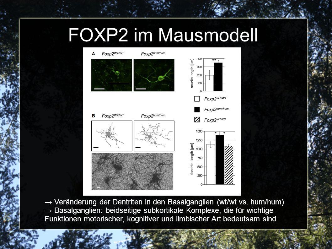 FOXP2 im Mausmodell Veränderung der Dentriten in den Basalganglien (wt/wt vs. hum/hum) Basalganglien: beidseitige subkortikale Komplexe, die für wicht