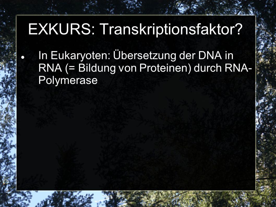 EXKURS: Transkriptionsfaktor? In Eukaryoten: Übersetzung der DNA in RNA (= Bildung von Proteinen) durch RNA- Polymerase
