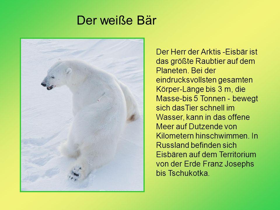 Der weiße Bär Der Herr der Arktis -Eisbär ist das größte Raubtier auf dem Planeten. Bei der eindrucksvollsten gesamten Körper-Länge bis 3 m, die Masse