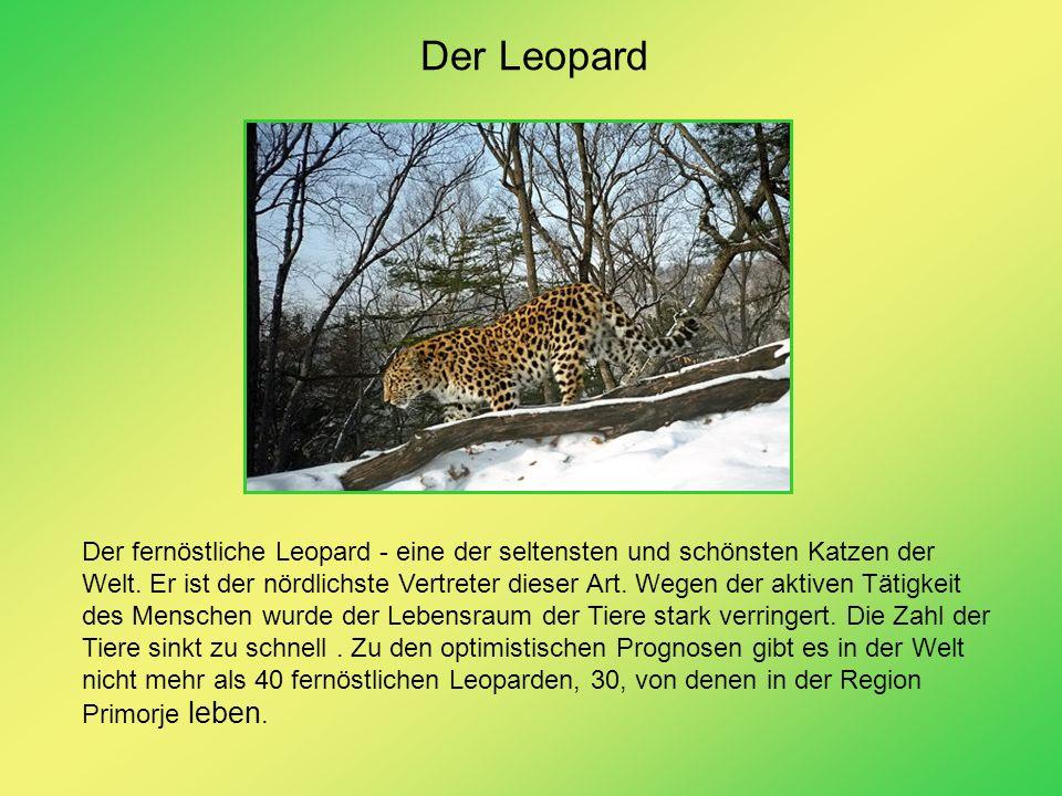 Der Leopard Der fernöstliche Leopard - eine der seltensten und schönsten Katzen der Welt. Er ist der nördlichste Vertreter dieser Art. Wegen der aktiv