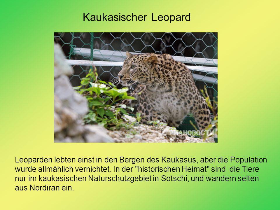 Kaukasischer Leopard Leoparden lebten einst in den Bergen des Kaukasus, aber die Population wurde allmählich vernichtet. In der