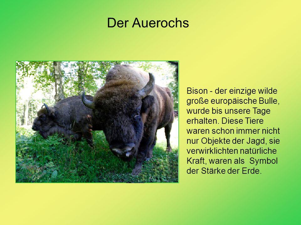 Der Auerochs Bison - der einzige wilde große europäische Bulle, wurde bis unsere Tage erhalten. Diese Tiere waren schon immer nicht nur Objekte der Ja