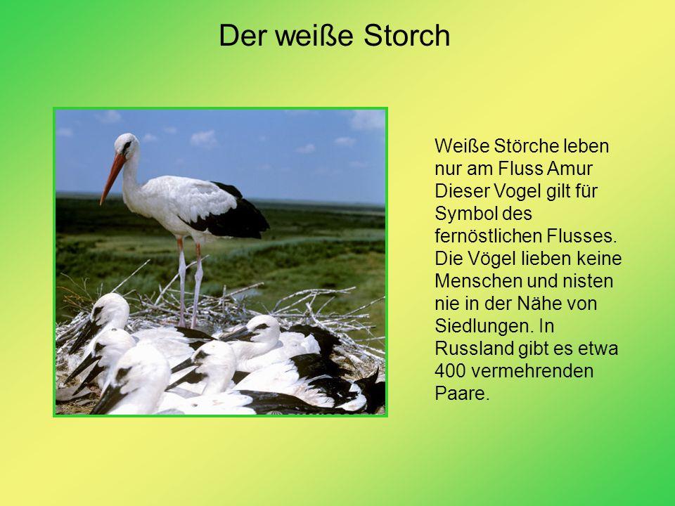Der weiße Storch Weiße Störche leben nur am Fluss Amur Dieser Vogel gilt für Symbol des fernöstlichen Flusses. Die Vögel lieben keine Menschen und nis