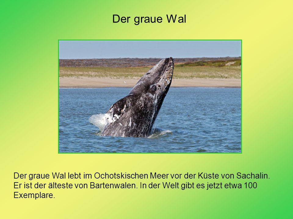 Der graue Wal Der graue Wal lebt im Ochotskischen Meer vor der Küste von Sachalin. Er ist der älteste von Bartenwalen. In der Welt gibt es jetzt etwa
