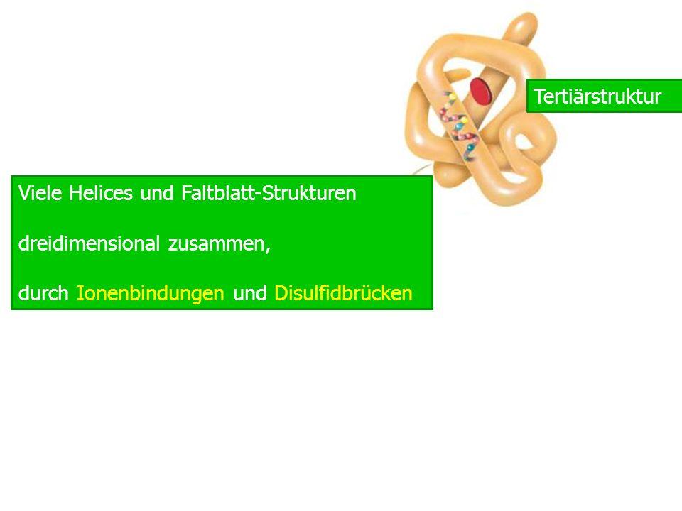 pro Tertiärstruktur Viele Helices und Faltblatt-Strukturen dreidimensional zusammen, durch Ionenbindungen und Disulfidbrücken