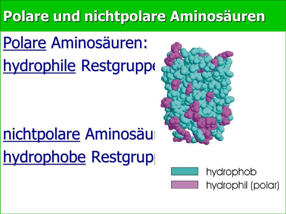 Polare und nichtpolare Aminosäuren Polare Aminosäuren: hydrophile Restgruppen nichtpolare Aminosäuren hydrophobe Restgruppen