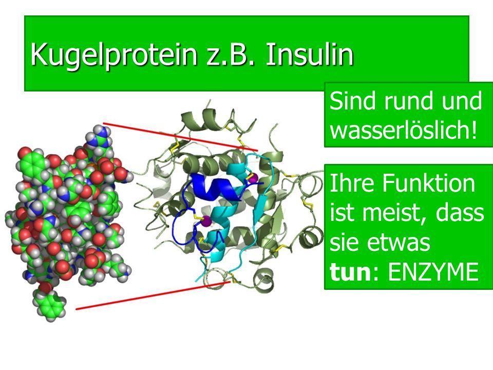 Kugelprotein z.B. Insulin Sind rund und wasserlöslich! Ihre Funktion ist meist, dass sie etwas tun: ENZYME
