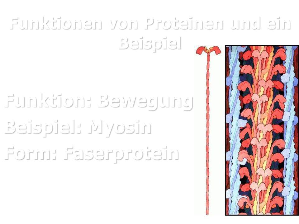 Funktionen von Proteinen und ein Beispiel Funktion: Bewegung Beispiel: Myosin Form: Faserprotein