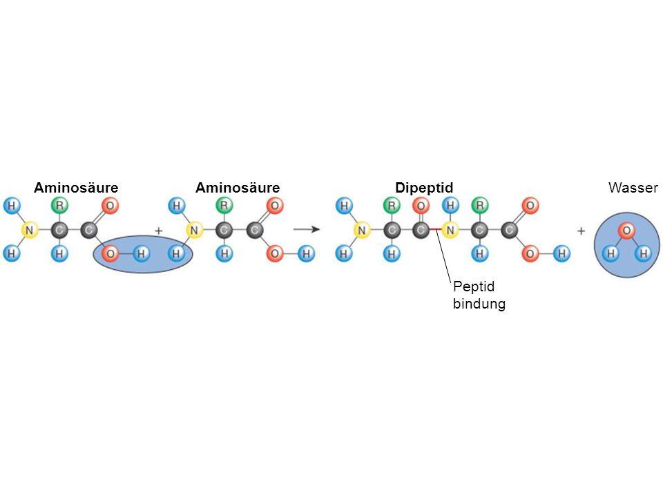 WasserDipeptid Peptid bindung Aminosäure