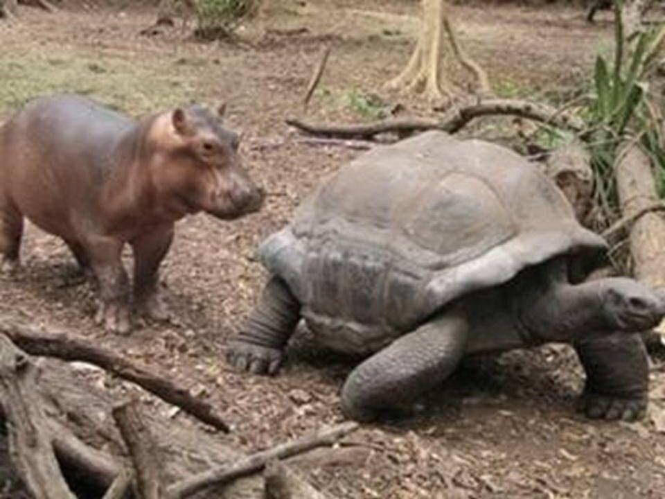 Nairobi: Eine sehr schöne Freundschaft hat sich zwischen einem kleinen Nilpferd Owen, das ungefähr 300 kg wiegt und den Tsunami des 25.