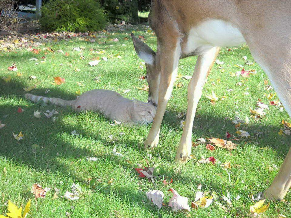 Ein Hirsch kommt jeden Morgen eine Katze besuchen.