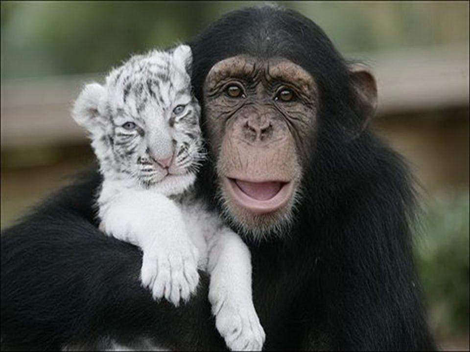 Anjan ist ein Schimpanse, der zwei kleine weiße Tiger, die ihre Mutter durch den Wirbelsturm Hanna verloren hatten, gerettet hat.