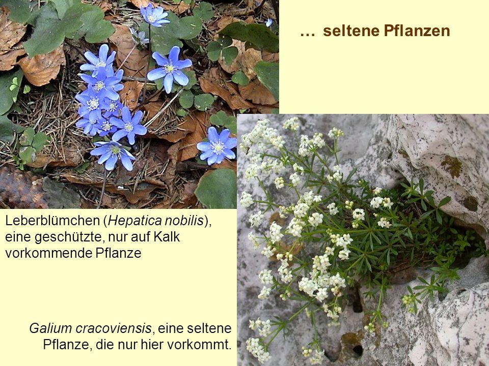 Leberblümchen (Hepatica nobilis), eine geschützte, nur auf Kalk vorkommende Pflanze Galium cracoviensis, eine seltene Pflanze, die nur hier vorkommt.