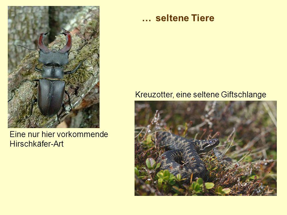 …seltene Tiere Eine nur hier vorkommende Hirschkäfer-Art Kreuzotter, eine seltene Giftschlange
