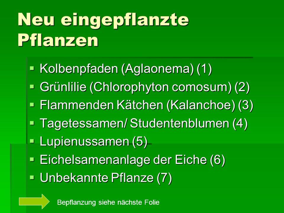 Neu eingepflanzte Pflanzen Kolbenpfaden (Aglaonema) (1) Kolbenpfaden (Aglaonema) (1) Grünlilie (Chlorophyton comosum) (2) Grünlilie (Chlorophyton comosum) (2) Flammenden Kätchen (Kalanchoe) (3) Flammenden Kätchen (Kalanchoe) (3) Tagetessamen/ Studentenblumen (4) Tagetessamen/ Studentenblumen (4) Lupienussamen (5) Lupienussamen (5) Eichelsamenanlage der Eiche (6) Eichelsamenanlage der Eiche (6) Unbekannte Pflanze (7) Unbekannte Pflanze (7) Bepflanzung siehe nächste Folie