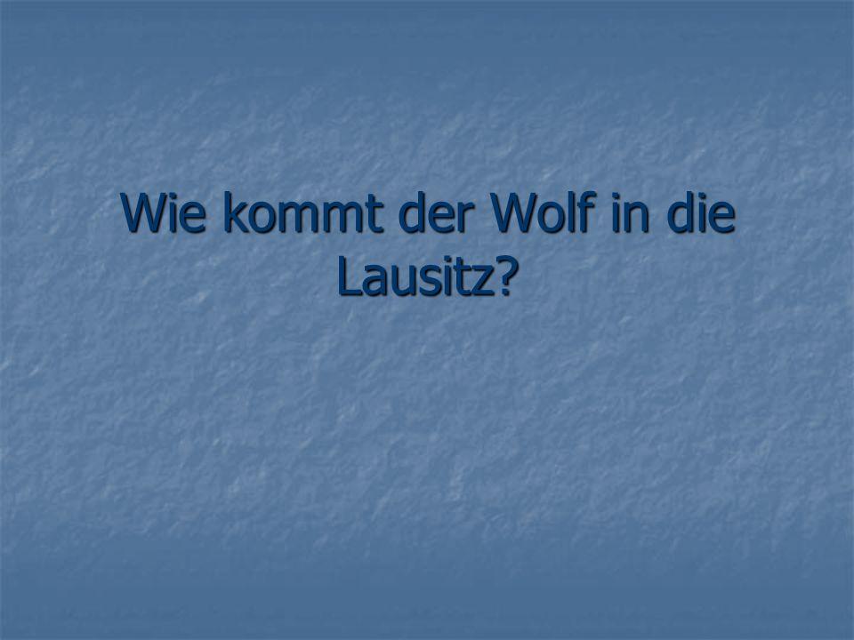 Wie kommt der Wolf in die Lausitz?