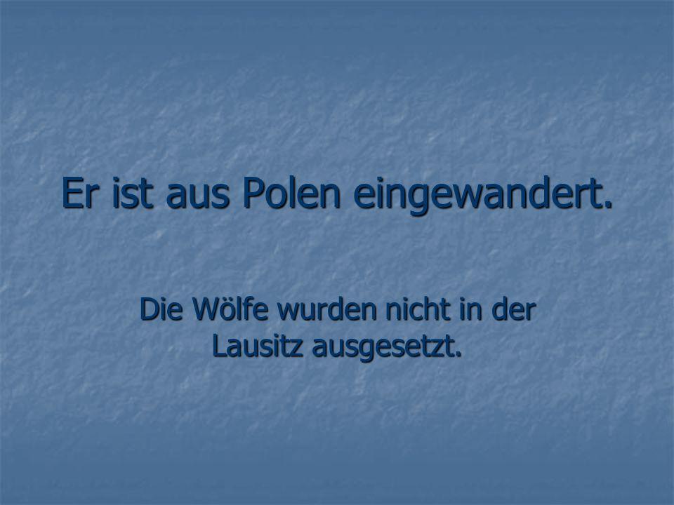 Er ist aus Polen eingewandert. Die Wölfe wurden nicht in der Lausitz ausgesetzt.