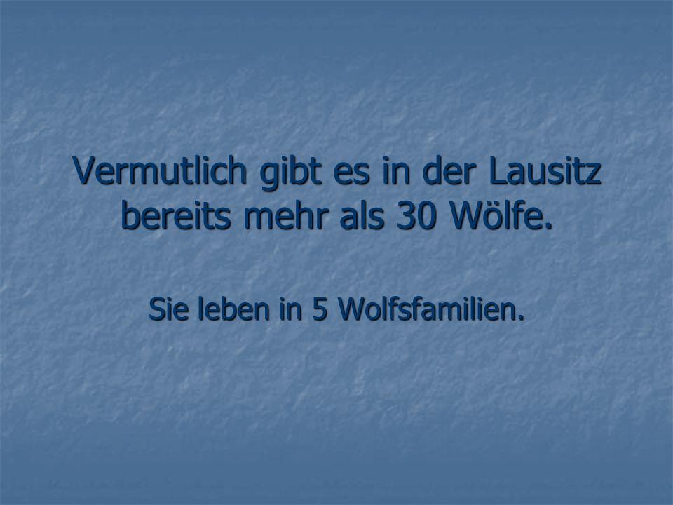 Vermutlich gibt es in der Lausitz bereits mehr als 30 Wölfe. Sie leben in 5 Wolfsfamilien.
