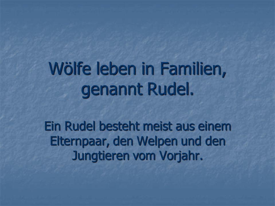 Wölfe leben in Familien, genannt Rudel. Ein Rudel besteht meist aus einem Elternpaar, den Welpen und den Jungtieren vom Vorjahr.