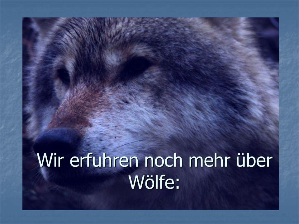 Wir erfuhren noch mehr über Wölfe: