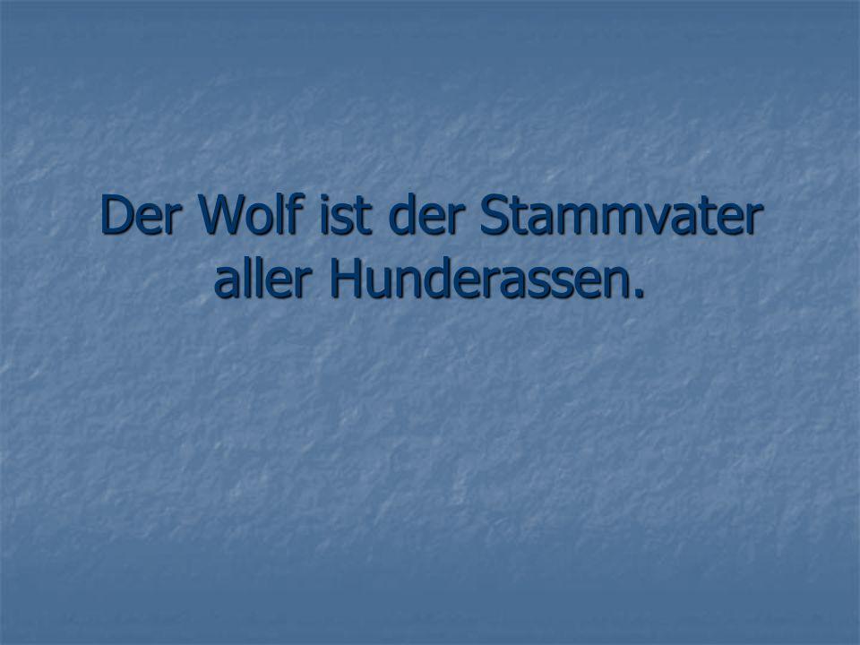 Der Wolf ist der Stammvater aller Hunderassen.