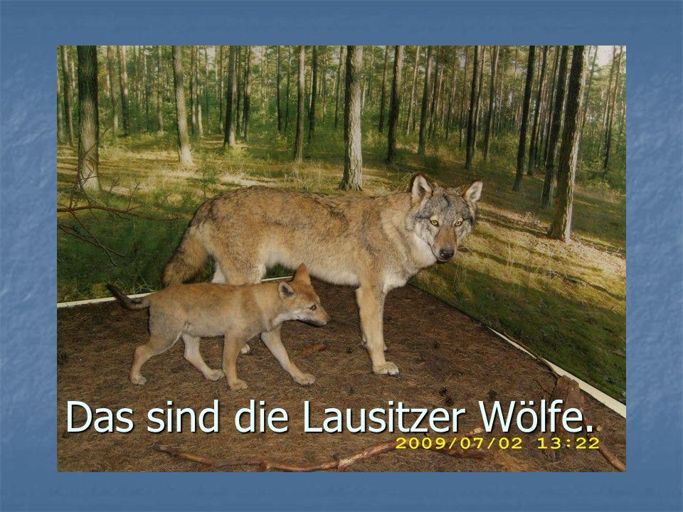 Wölfe brauchen keine Wildnis.Die Rückkehr der Wölfe bereichert unsere Natur.