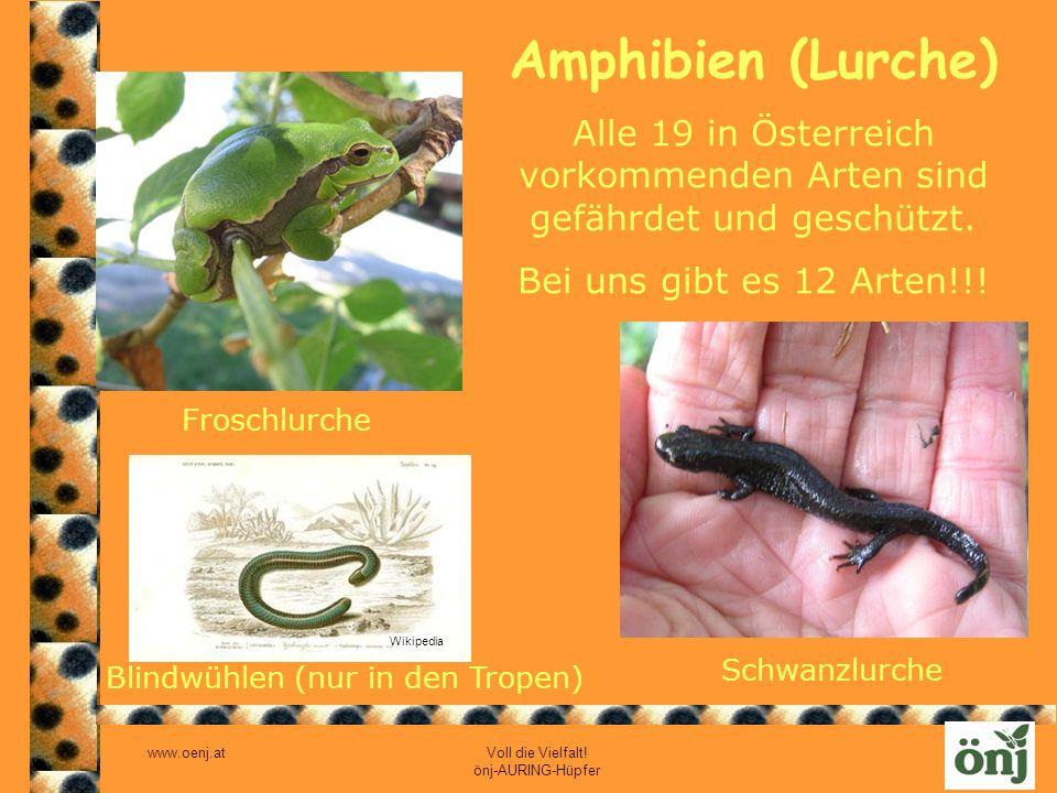 www.oenj.at Voll die Vielfalt! önj-AURING-Hüpfer Amphibien (Lurche) Froschlurche Schwanzlurche Blindwühlen (nur in den Tropen) Wikipedia Alle 19 in Ös