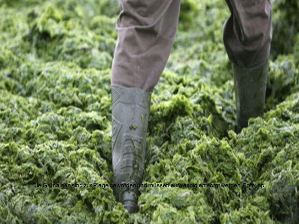 Folgen französischer Viehwirtschaft Tödliche Algen Die Grünalgen sind zur Plage geworden und müssen aufwändig entsorgt werden.