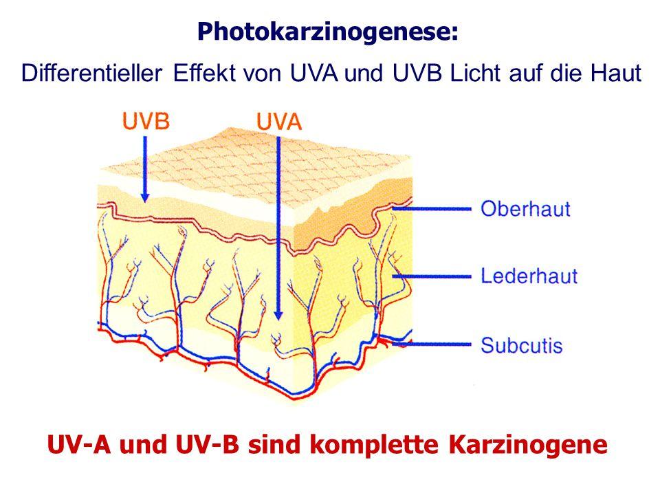 Photokarzinogenese: Differentieller Effekt von UVA und UVB Licht auf die Haut UV-A und UV-B sind komplette Karzinogene