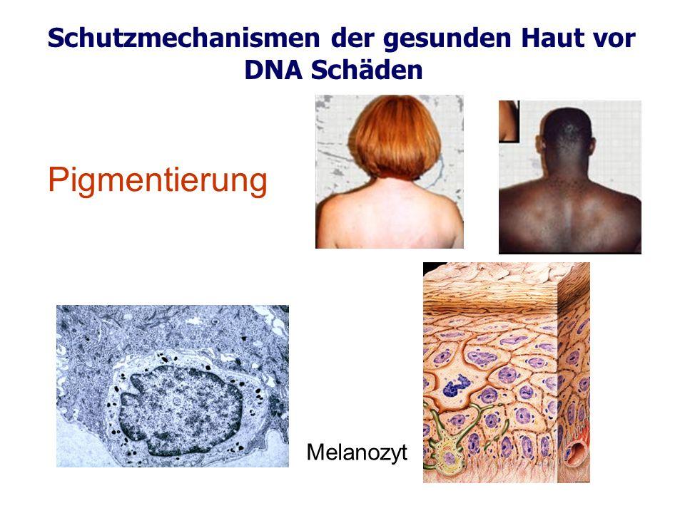 Schutzmechanismen der gesunden Haut vor DNA Schäden Melanozyt Pigmentierung