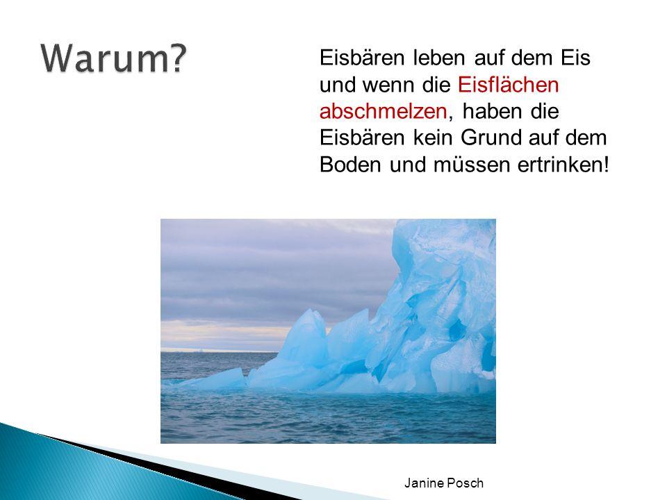 Janine Posch Eisbären leben auf dem Eis und wenn die Eisflächen abschmelzen, haben die Eisbären kein Grund auf dem Boden und müssen ertrinken!