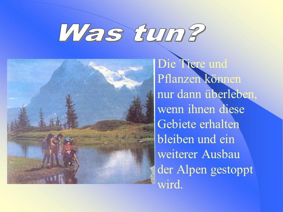 Die Tierwelt ist reich- in den Alpen leben Schneehasen, Schneehühner, Hermeline, Gämsen, Steinböcken und Murmeltiere. Hermelin Schneehase
