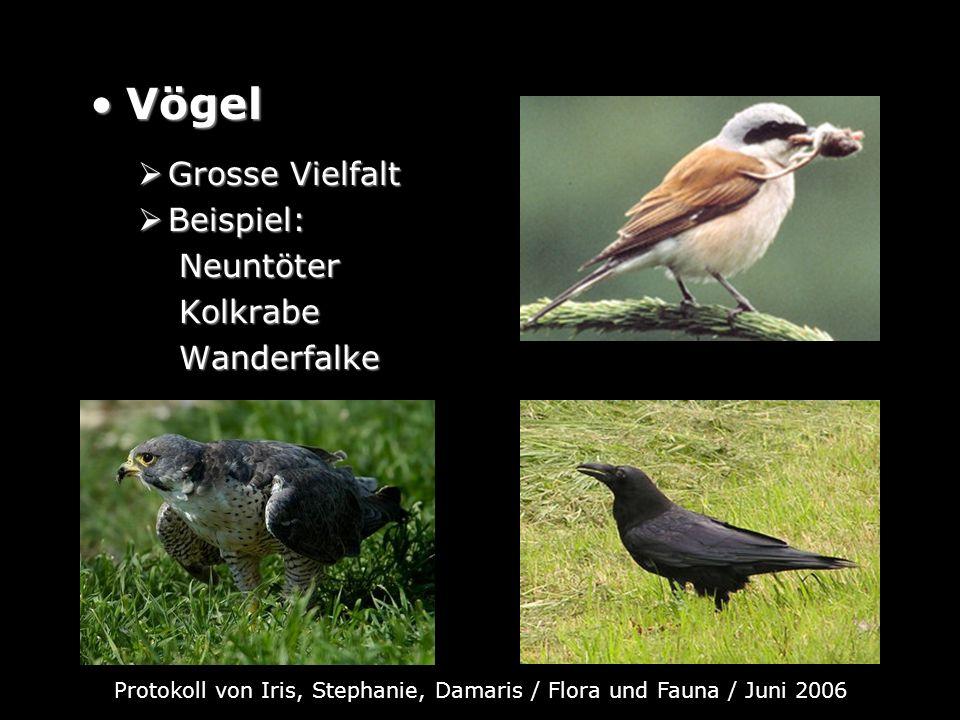 VögelVögel Grosse Vielfalt Grosse Vielfalt Beispiel: Beispiel: Neuntöter Neuntöter Kolkrabe Kolkrabe Wanderfalke Wanderfalke Protokoll von Iris, Steph