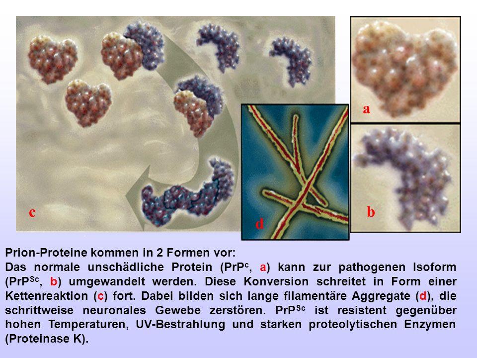 Prion-Proteine kommen in 2 Formen vor: Das normale unschädliche Protein (PrP c, a) kann zur pathogenen Isoform (PrP Sc, b) umgewandelt werden. Diese K