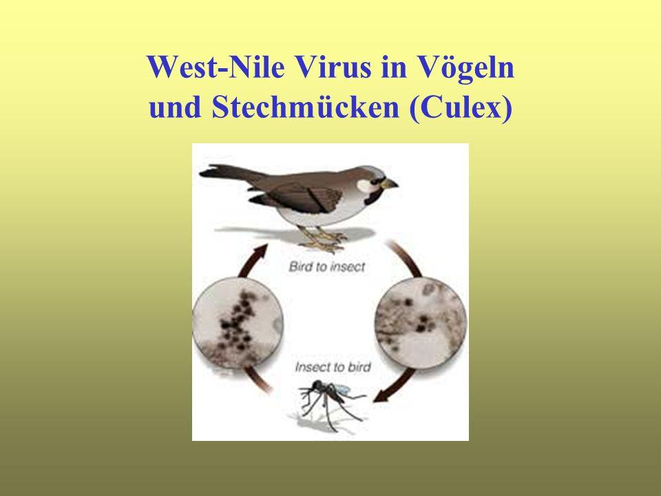 West-Nile Virus in Vögeln und Stechmücken (Culex)