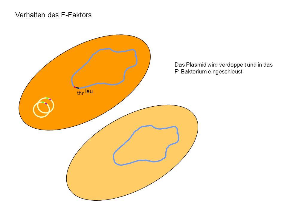 Verhalten des F-Faktors leu thr Das Plasmid wird verdoppelt und in das F - Bakterium eingeschleust