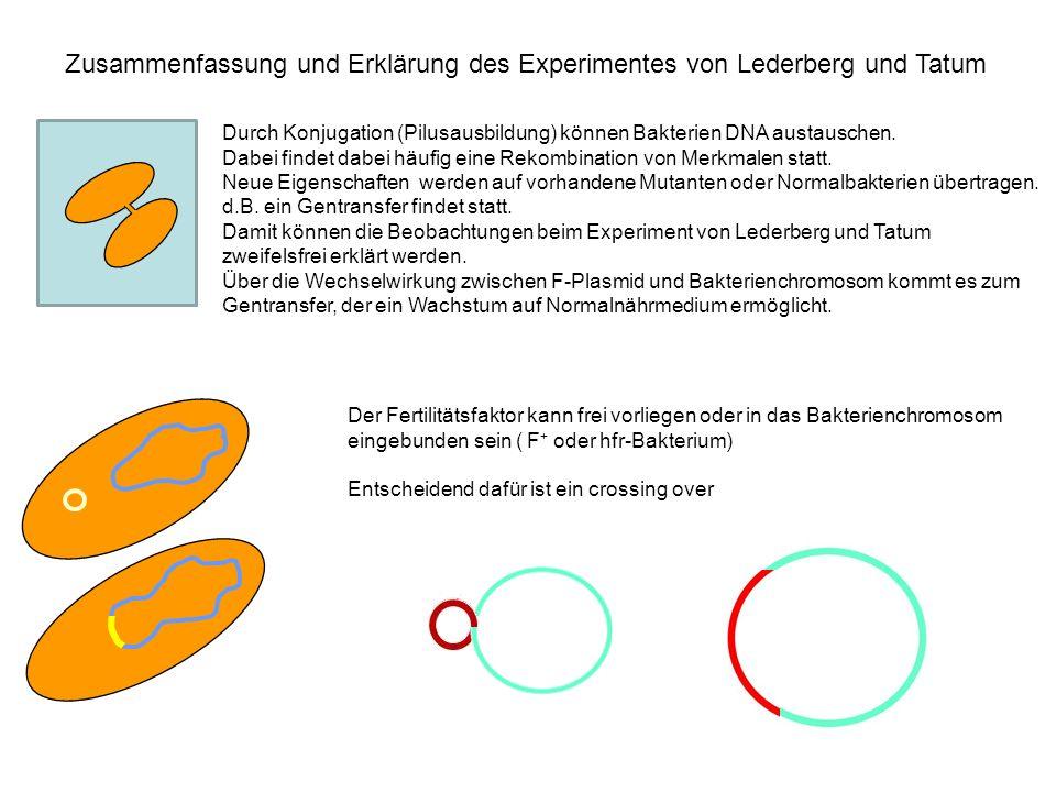 Zusammenfassung und Erklärung des Experimentes von Lederberg und Tatum Durch Konjugation (Pilusausbildung) können Bakterien DNA austauschen. Dabei fin