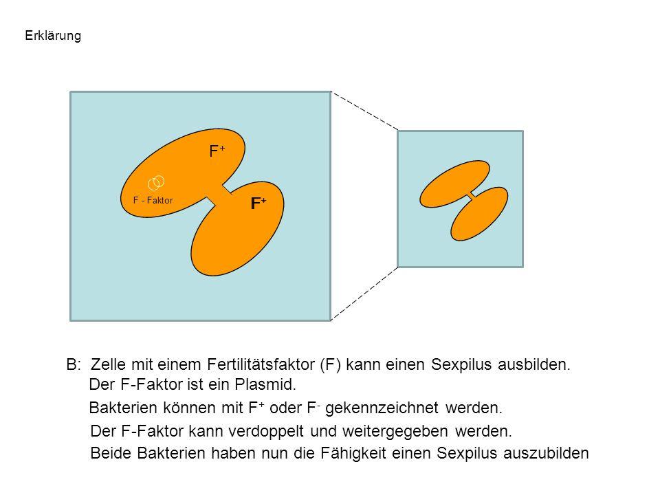 F - Faktor B: Zelle mit einem Fertilitätsfaktor (F) kann einen Sexpilus ausbilden. Der F-Faktor ist ein Plasmid. Bakterien können mit F + oder F - gek
