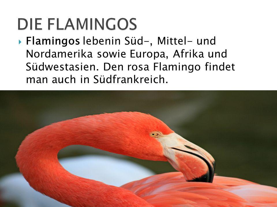 Flamingos lebenin Süd-, Mittel- und Nordamerika sowie Europa, Afrika und Südwestasien. Den rosa Flamingo findet man auch in Südfrankreich.