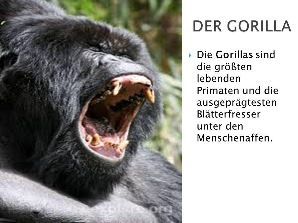 Die Gorillas sind die größten lebenden Primaten und die ausgeprägtesten Blätterfresser unter den Menschenaffen.