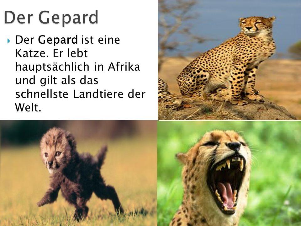 Der Gepard ist eine Katze. Er lebt hauptsächlich in Afrika und gilt als das schnellste Landtiere der Welt.