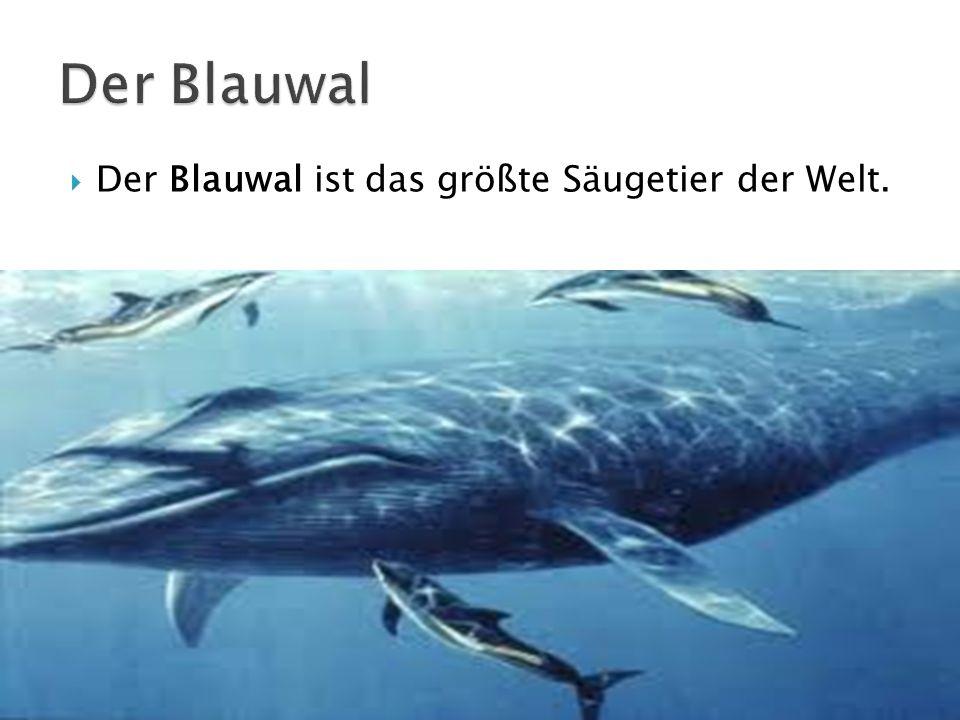 Der Blauwal ist das größte Säugetier der Welt.