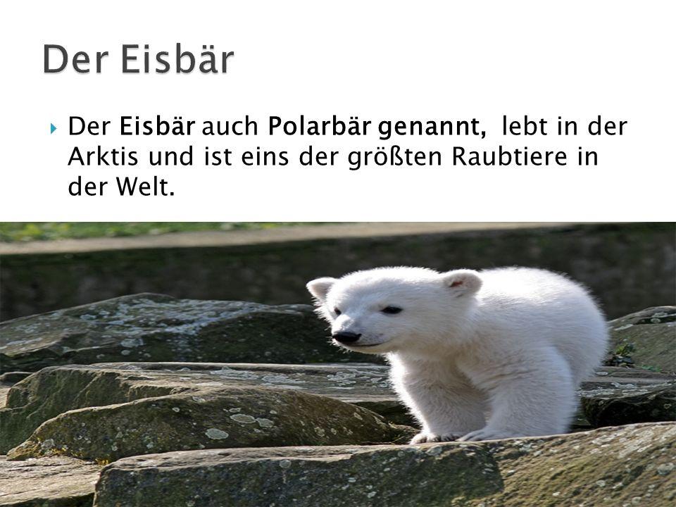 Der Eisbär auch Polarbär genannt, lebt in der Arktis und ist eins der größten Raubtiere in der Welt.