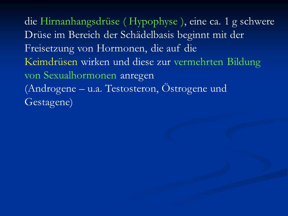 die Hirnanhangsdrüse ( Hypophyse ), eine ca. 1 g schwere Drüse im Bereich der Schädelbasis beginnt mit der Freisetzung von Hormonen, die auf die Keimd