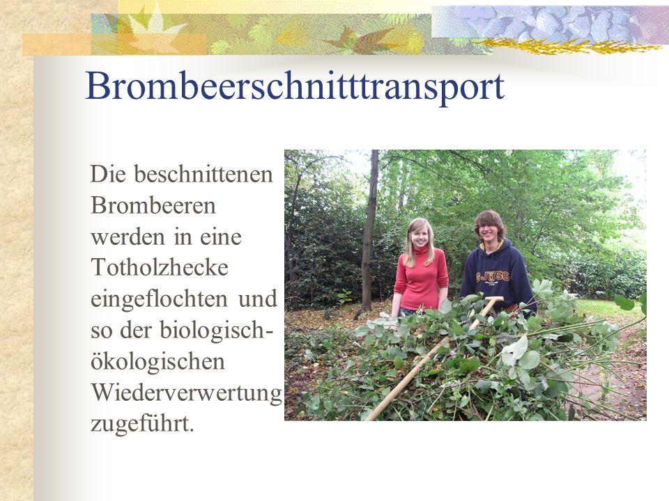 Brombeerschnitttransport Die beschnittenen Brombeeren werden in eine Totholzhecke eingeflochten und so der biologisch- ökologischen Wiederverwertung zugeführt.