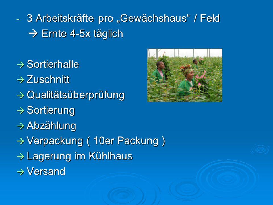 Von Produktion bis zum Export - Ganzjährige Produktion - 50.000 Pflanzen pro Gewächshaus - Tröpfchenwässerungssystem - Nährstoffe computergesteuert hi