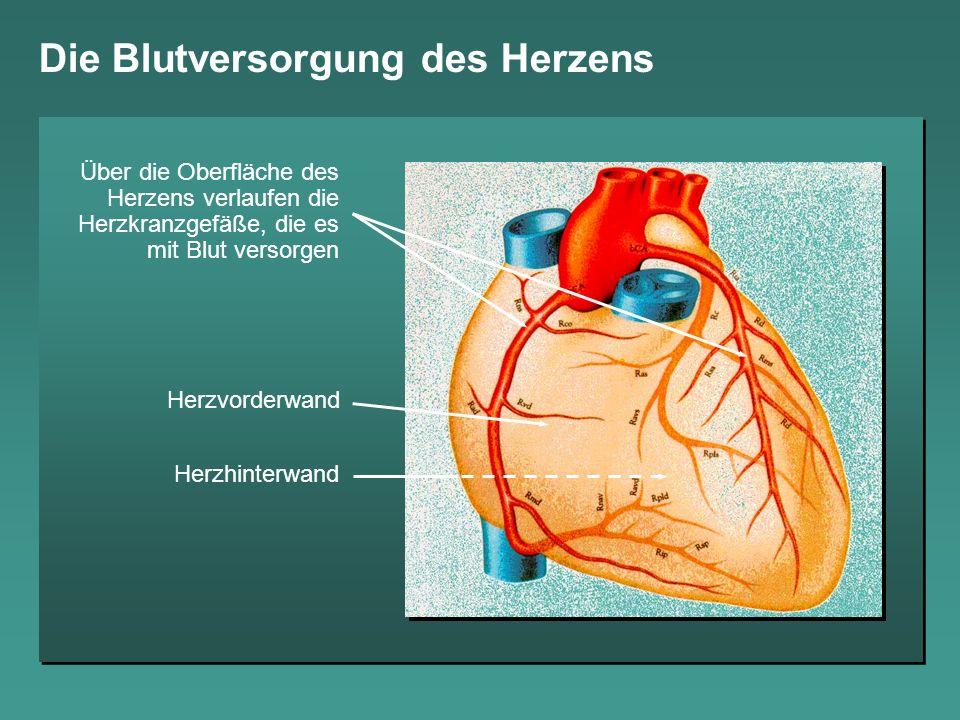 Die Blutversorgung des Herzens Herzvorderwand Herzhinterwand Über die Oberfläche des Herzens verlaufen die Herzkranzgefäße, die es mit Blut versorgen