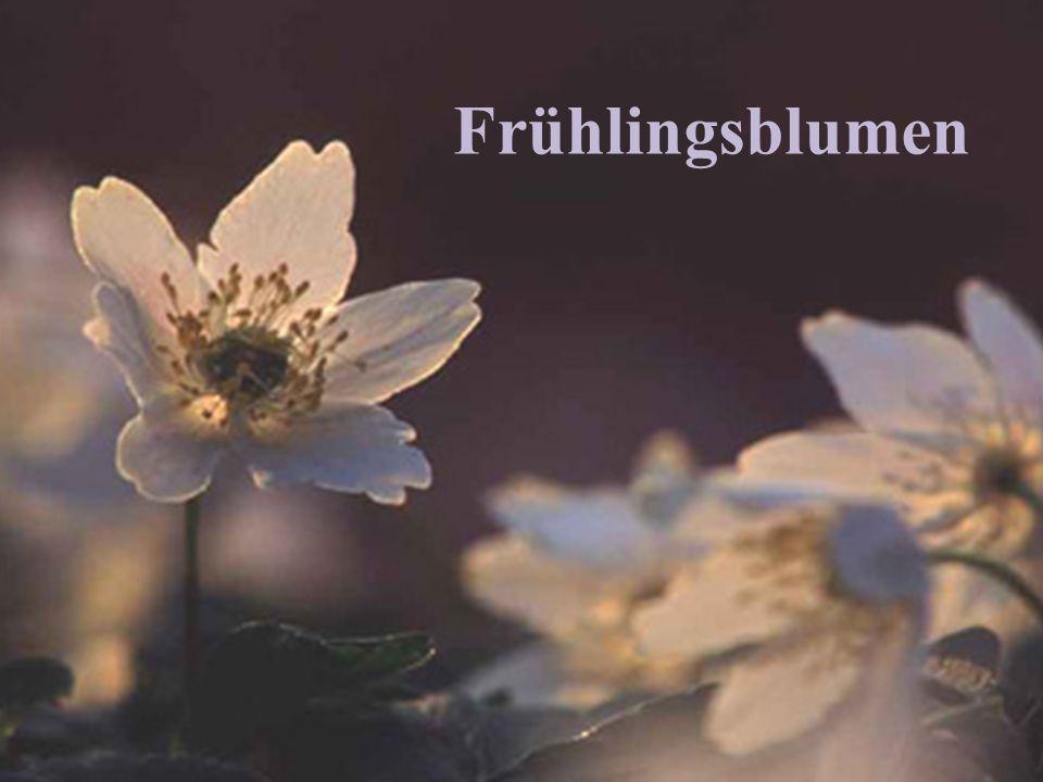 Frühblütler im Wald und auf der Wiese / 1 Seite 2 Seidelbast Huflattich Krokus Märzenglöcklein Schnee- glöcklein Schlüssel- blume Lungenkraut Buschwindröschen
