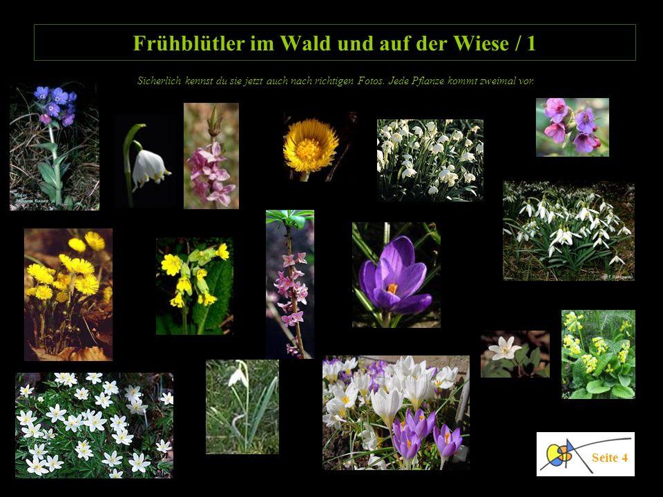Frühblütler im Wald und auf der Wiese / 1 Seite 4 Sicherlich kennst du sie jetzt auch nach richtigen Fotos. Jede Pflanze kommt zweimal vor.